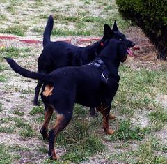 german pinscher(0.0), lancashire heeler(0.0), jagdterrier(0.0), vulnerable native breeds(0.0), patterdale terrier(0.0), terrier(0.0), dog breed(1.0), animal(1.0), australian kelpie(1.0), dog(1.0), manchester terrier(1.0), pet(1.0), mammal(1.0), pinscher(1.0),
