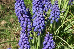 english lavender(0.0), lavender(0.0), bluebonnet(0.0), flower(1.0), wildflower(1.0), hyacinth(1.0),