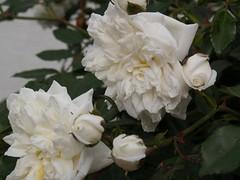 jasmine(0.0), blossom(0.0), rosa pimpinellifolia(0.0), shrub(1.0), garden roses(1.0), camellia sasanqua(1.0), rosa 㗠centifolia(1.0), floribunda(1.0), flower(1.0), plant(1.0), flora(1.0), gardenia(1.0), petal(1.0),