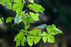maidenhair tree(0.0), birch(0.0), deciduous(0.0), flower(0.0), branch(1.0), leaf(1.0), tree(1.0), plant(1.0), grape leaves(1.0), green(1.0), produce(1.0),