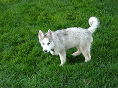 dog breed, animal, dog, grass, siberian husky, pet, white shepherd, mammal, east siberian laika, tamaskan dog, greenland dog, saarloos wolfdog, sled dog,