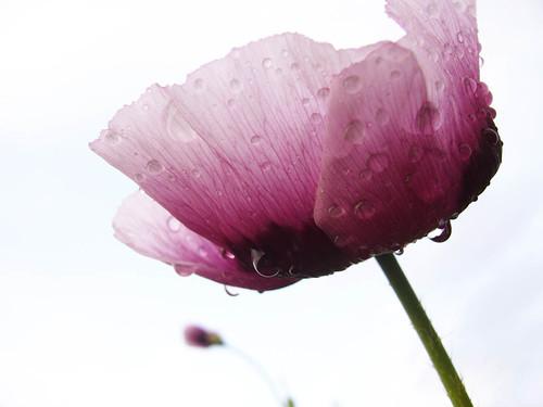 minimal purple poppy