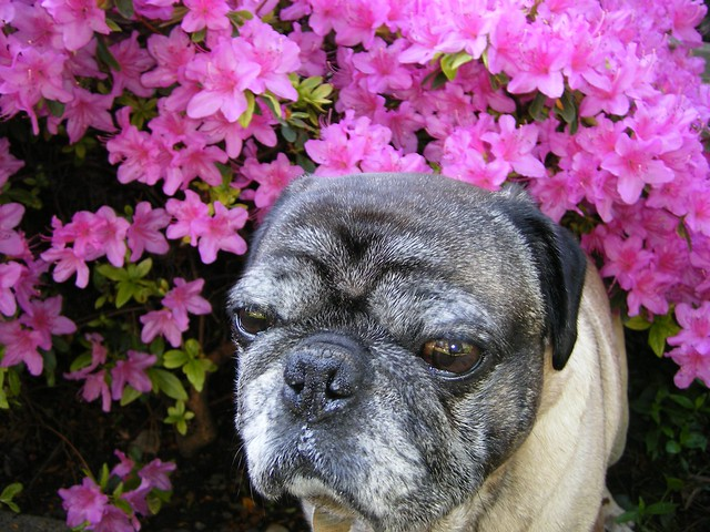 Pug And Flowers Flickr Photo Sharing