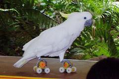 parakeet(0.0), cockatoo(1.0), animal(1.0), parrot(1.0), pet(1.0), sulphur crested cockatoo(1.0), fauna(1.0), beak(1.0), bird(1.0),