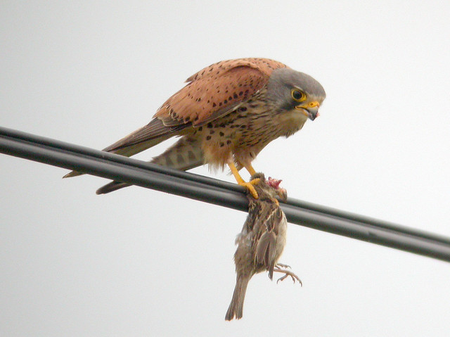 Kestrel, Elvas (Portugal), 23-Apr-06