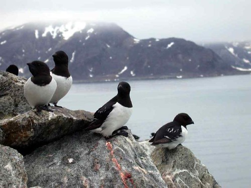 Little Auks - Photo by Alastair Rae on Flickr
