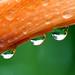 Orange Drops by daveandmariefe