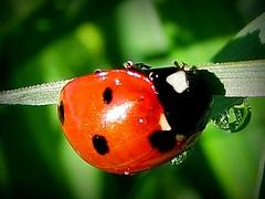 arthropod, animal, ladybird, invertebrate, insect, macro photography, fauna, close-up, beetle,