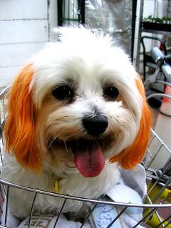 Orange haired doggy 2