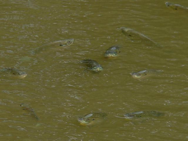 Farm Pond Fish Kill 4 6 17 06 Flickr Photo Sharing