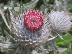 thistle(0.0), produce(0.0), proteales(0.0), petal(0.0), flower(1.0), plant(1.0), nature(1.0), thorns, spines, and prickles(1.0), macro photography(1.0), wildflower(1.0), flora(1.0), silybum(1.0), artichoke thistle(1.0), close-up(1.0),
