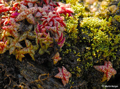 Crassula and Moss growing on a rock