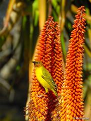 Cape Weaver bird on Aloe ferox flowers