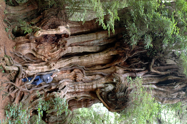 Small Cedar Tree Varieties ~ Largest cedar tree flickr photo sharing