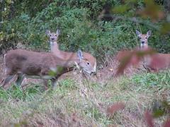 Deer group