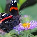 laurie_frisch posted a photo:	In the right light, the colors on the wings pop.