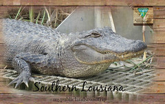crocodile, reptile, nile crocodile, fauna, american alligator, alligator, crocodilia,