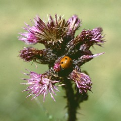 Cirse (Cirsum sp, asteracée) - Photo of Saint-Bonnet-le-Courreau