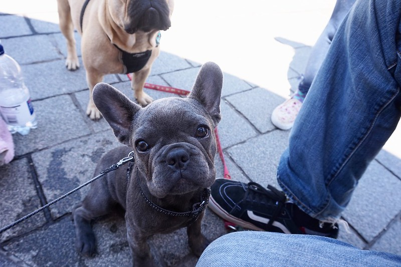french bulldog blue frenchie