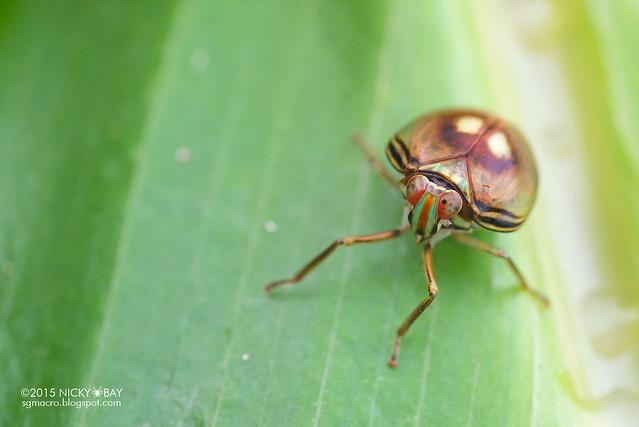 Pill-like planthopper (Hemisphaerius sp.) - DSC_4210