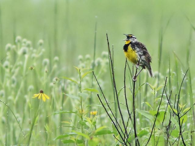 Eastern Meadowlark 2-20150712