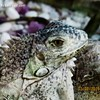 Yesterday was a welcome party for the new family (pet ) members, Iguana!! #iguana #pet #eyes #feet  #desert #rocks #beauty #natural_clours #nature #natural #tank #animals #welcome_party by Esra Ben Jassem