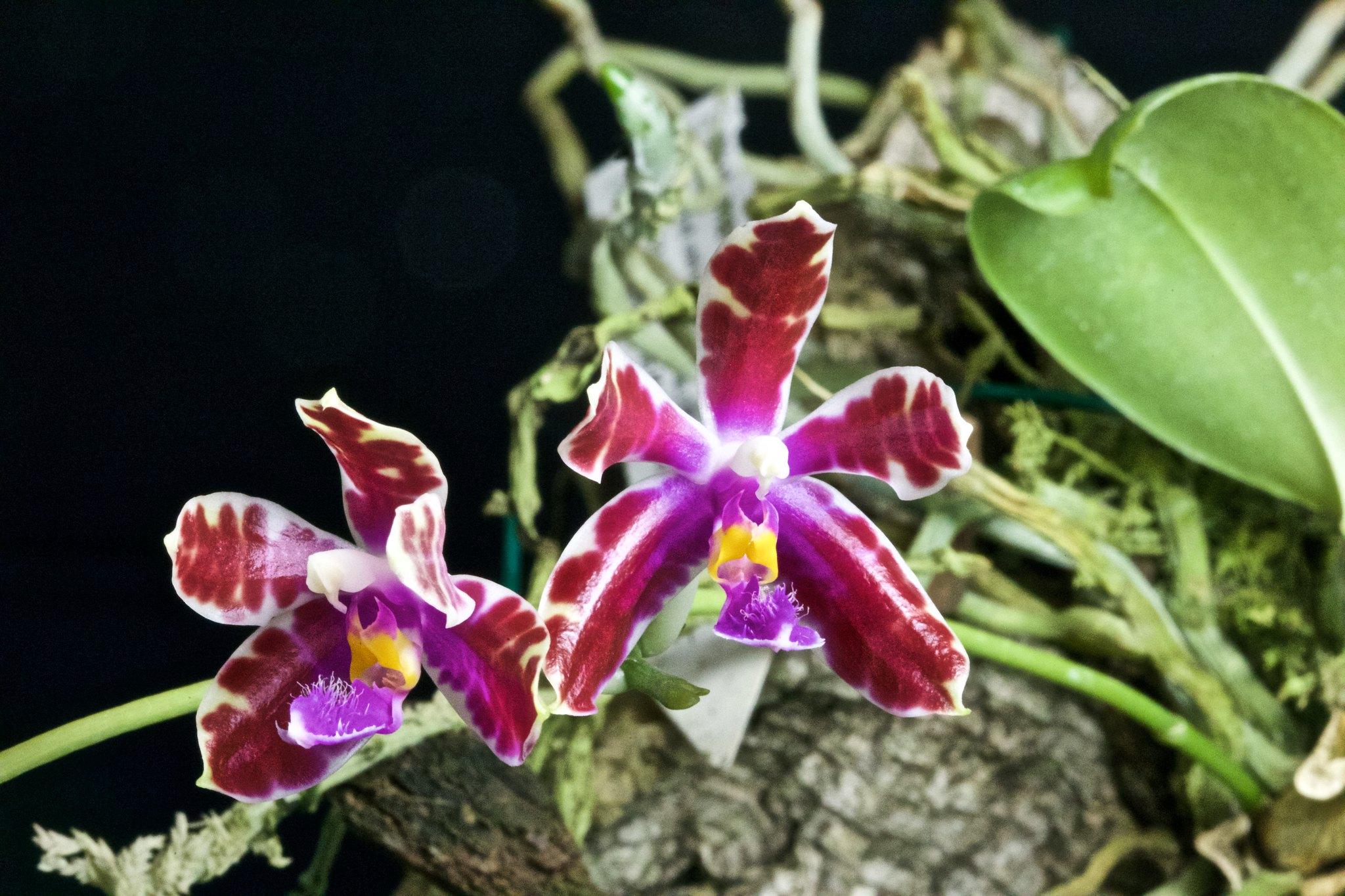 Phalaenopsis mariae x pulchra 20206562570_9dc2d6b05b_k