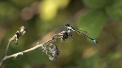 Agrion Elegant - Photo of Saint-Magne