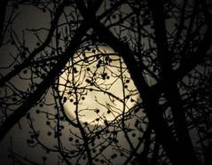 Almost Full Moon Through Trees; Manhasset, New York