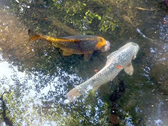 Koi carp in coy pond explore lebatihem 39 s photos on for Coy carp pond