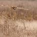 short-eared owl by lee barlow