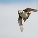 Puffin in flight - Isle of may by Bill Henderson Photography
