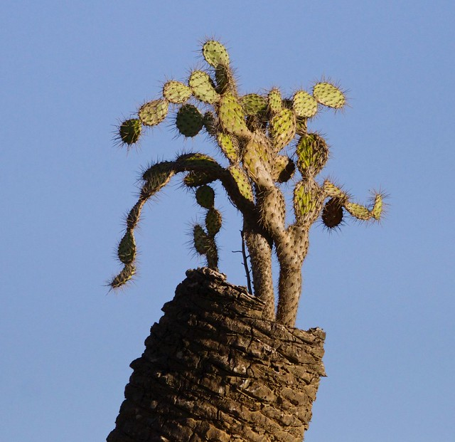 Cactus growing on a dead palm trunk