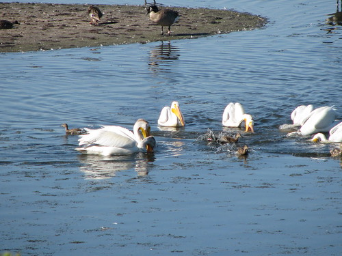 Pelicans on Wascana