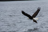 Bald Eagle grabs some lunch