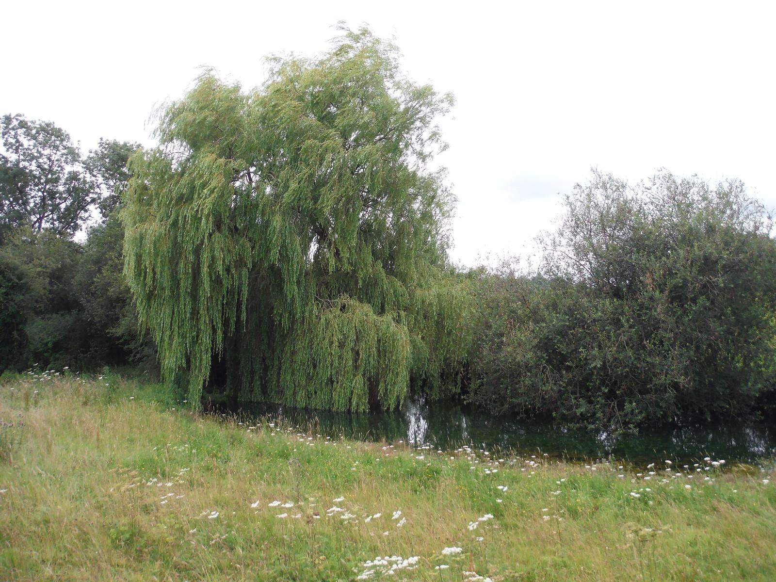 Pond at Wick Wood Farm SWC Walk 252 Tisbury Circular via Donhead St. Andrew