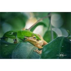 Kodok mangan ulo #snack #frog #likeforlike #nationalgeography #nature #green #wild #defend