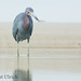 Little blue heron shows off its catch by Pat Ulrich