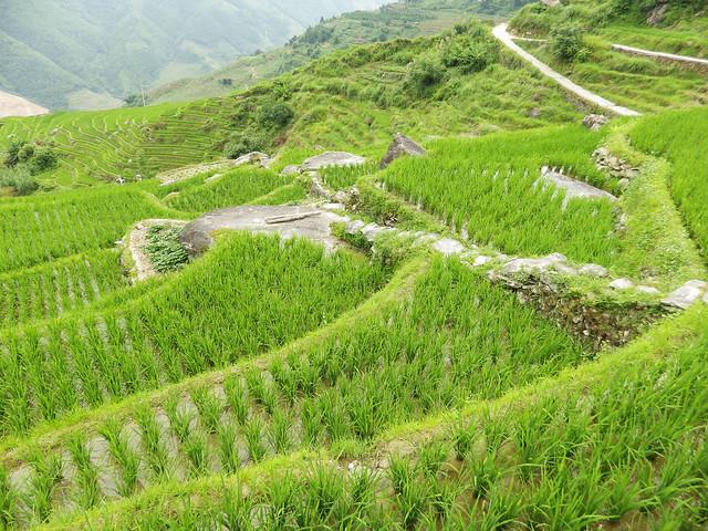 rizières 3