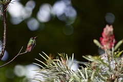 the hummingbird & the flower & the bokeh