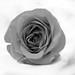 Name as Rose