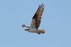 IMG_5739.jpg Osprey, Harkins Slough