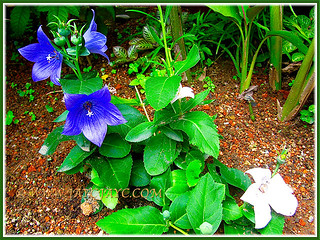 Two dwarf varieties of Platycodon grandiflorus (Balloon Flower) in our garden, Nov 21 2013