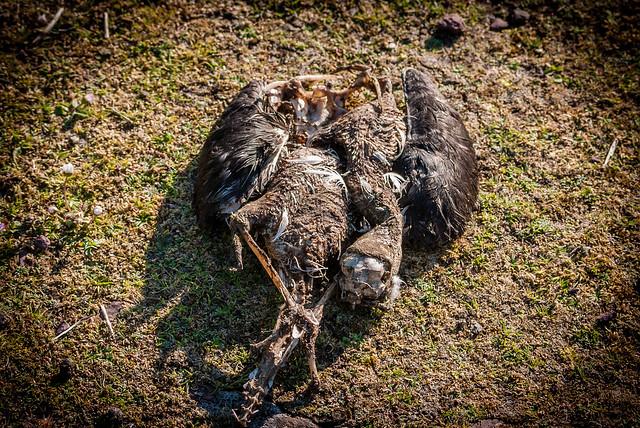 Manx Shearwater Corpse