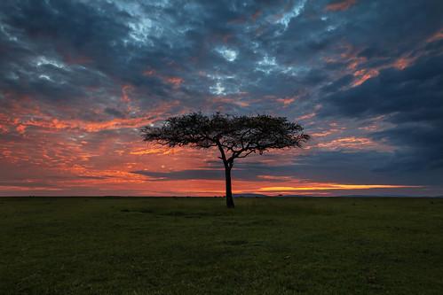 acacia acaciatree africa afrika clouds gamedrive grass kenya landscape maasaimara maranorthconservancy narokcounty plains safari savannah silhouette sky sunrise tree riftvalley eastafrica mariostree republicofkenya fh ig