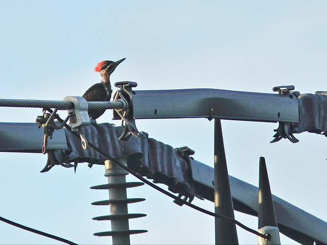 Pileated Woodpecker female 20150805