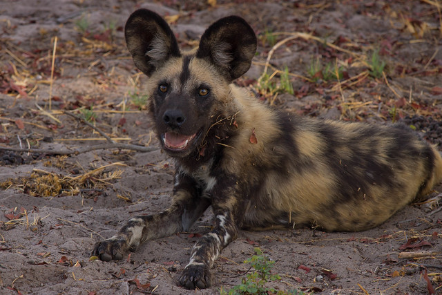 Lounging wild dogs