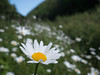 Daisies at Valency Valley