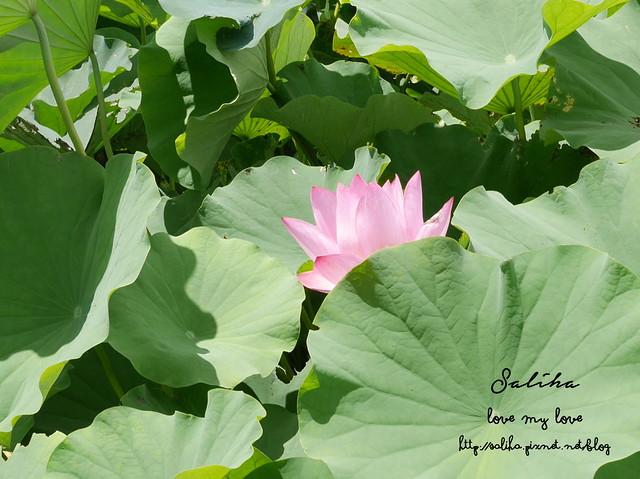 三峽蓮花景點 (8)