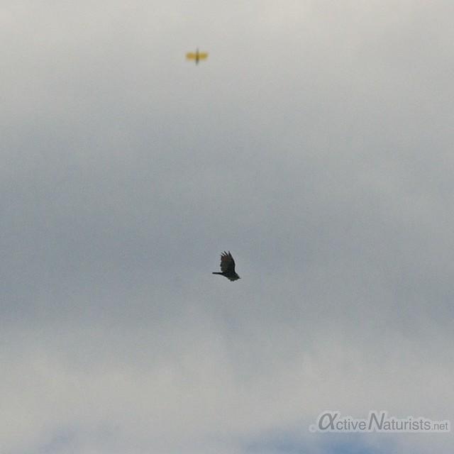 turkey vulture + fly 0000 Harriman State Park, New York, USA